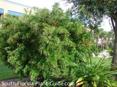 Large golden dewdrop bush