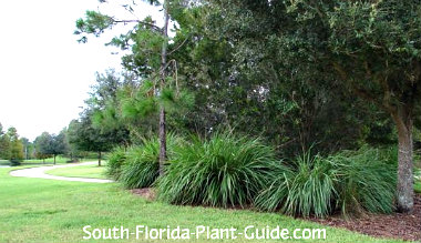 Ornamental Grasses Florida Ornamental grass fountain grass pampas grass more dwarf fakahatchee grass lines a landscape workwithnaturefo