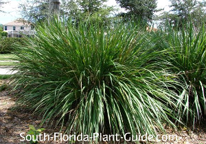Short Ornamental Grass Ornamental grass fountain grass pampas grass more dwarf fakahatchee grass workwithnaturefo