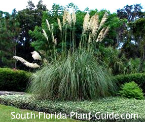 Ornamental Grasses Florida Ornamental grass fountain grass pampas grass more large clump of pampas grass in a bed of variegated asiatic jasmine workwithnaturefo