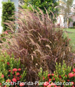 Ornamental Grasses Florida Ornamental grass fountain grass pampas grass more red fountain grass with dwarf red ixora workwithnaturefo