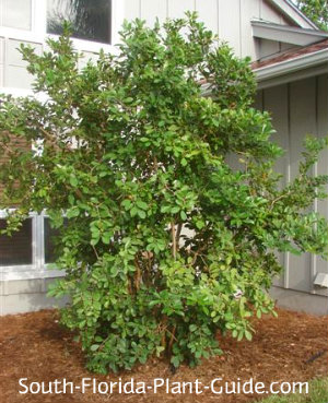 Strawberry guava planted next to a house
