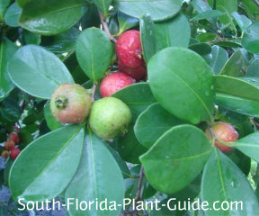 ripening fruit of strawberry guava