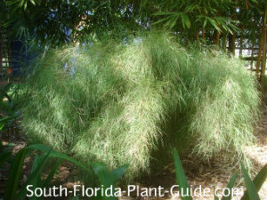 Ornamental Grasses Florida Ornamental grass fountain grass pampas grass more hair grass workwithnaturefo