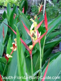 red and yellow flowers of heliconia 'Lady Di'