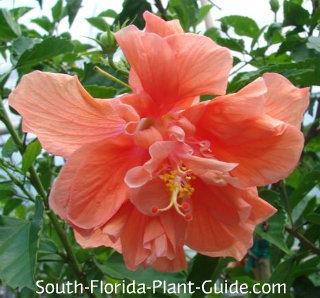 Double peach flower