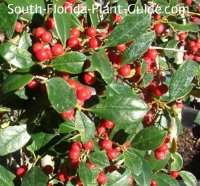 East Palatka red berries
