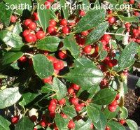 East Palatka holly berries
