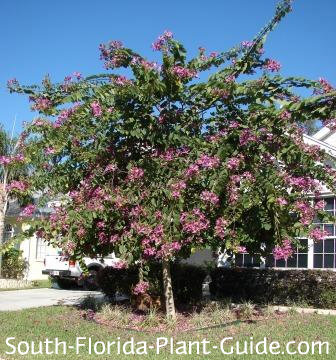 Tree in full bloom in a front yard