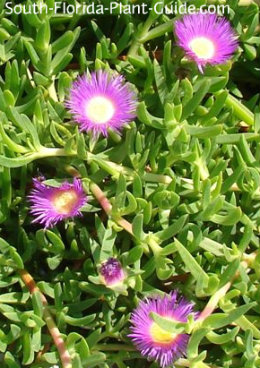Ice plant flowers and leaves