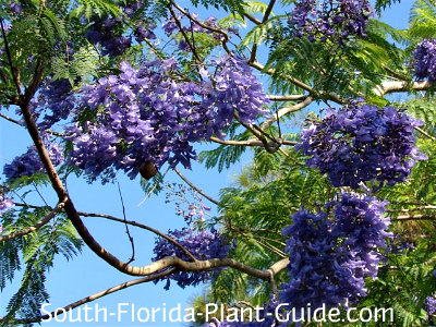 Bright purple flowers of jacaranda tree