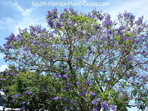 Jacaranda Tree