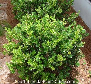 Japanese boxwood for Low maintenance foundation shrubs