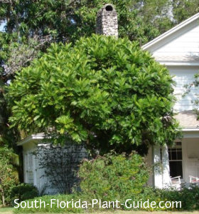 Japanese fern tree by a house