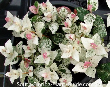 'Snowcap' foliage in pink, white and green