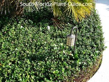 all-green jasmine lining a walkway