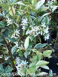 White blooms on variegated variety