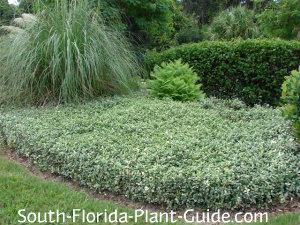 variegated asiatic jasmine