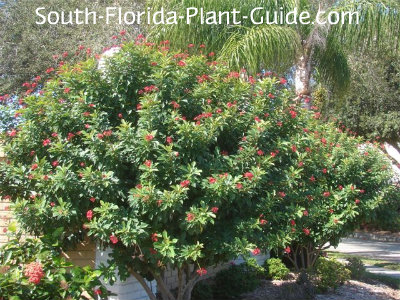 Jatropha - South florida vegetable gardening ...