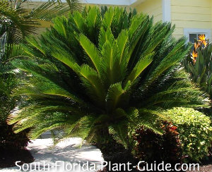 King sago palm in a landscape