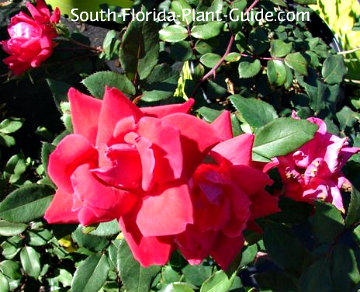 red double Knock Out Rose flowers