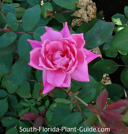 How To Trim A Rose Bush In Summer