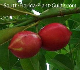 Ripe red fruit