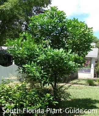 Kopsia tree in a landscape