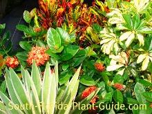 arboricola, red maui ixora, mammy croton, agave