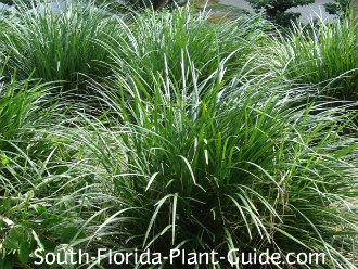 Grass like plants liriope mondo grass and aztec grass for Tall ornamental grasses that grow in shade