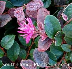 loropetalum flower
