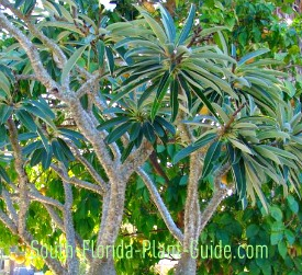 Madagascar palm with multiple branches
