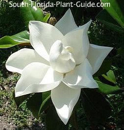 D.D. Blanchard flower