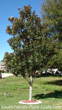 Little Gem magnolia tree