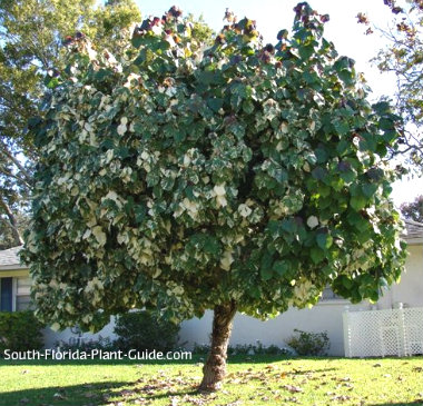 Variegated mahoe tree in a front yard