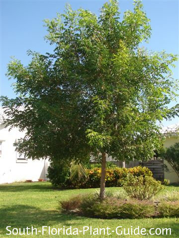 Young mahogany tree on a front lawn