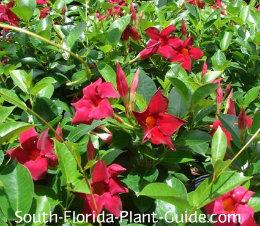 Red dipladenia flowers