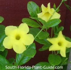 Yellow-flowering variety