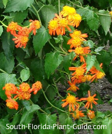 Orange Mexican flame vine flowers