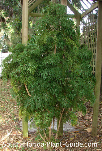 Ming aralia in a partial shade backyard