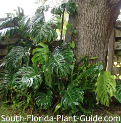 Large-leafed monstera vine climbing a tree