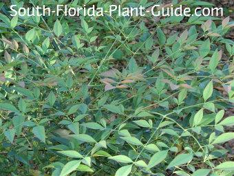 nandina leaf detail