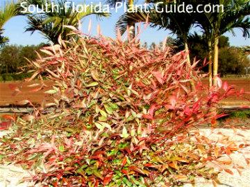 Nandina bush with red winter foliage