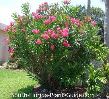 'Calypso Pink' oleander shrub n a home landscape