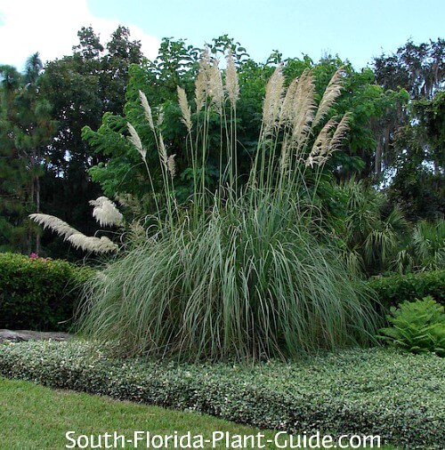 Ornamental Grass Fountain Grass Pampas Grass More
