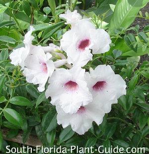 Pandora vine soft pink flowers mightylinksfo