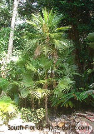 Young paurotis palm