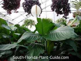 peace lily at a nursery