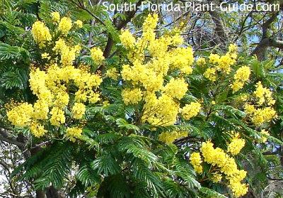 peltophorum blossoms