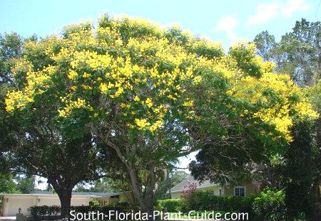Peltophorum tree in full bloom